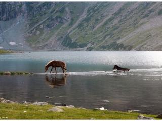 kashmir-horses