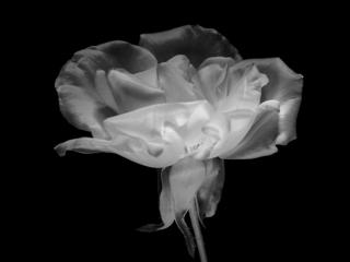 rose-ir-49b29efc4e505879d496840cb7e64cc3b4ce5e4e